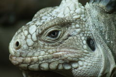 Lesser Antilles Iguana - Iguana delicatissima Stock Photos
