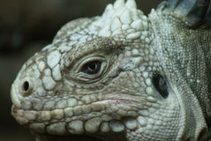 Lesser Antilles Iguana - Iguana delicatissima Royalty Free Stock Photography