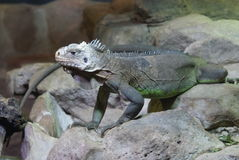 Lesser Antilles Iguana - Iguana delicatissima Stock Photo