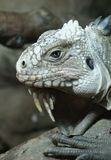 Lesser Antilles Iguana - Iguana delicatissima Royalty Free Stock Photo