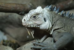 Lesser Antilles Iguana - Iguana delicatissima Royalty Free Stock Images