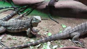 Lesser Antilles Iguana - leguandelicatissima arkivfilmer