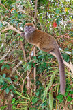 Lesser bamboo lemur Royalty Free Stock Photography