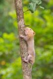 Lesser Bamboo Rat i natur Royaltyfria Foton