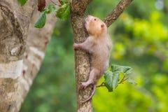 Lesser Bamboo Rat i natur Arkivfoton