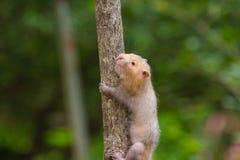 Lesser Bamboo Rat i natur Fotografering för Bildbyråer