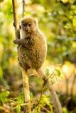 Lesser bambumaki, Hapalemur griseus, i natur, Madagascar arkivbilder