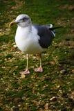 Lesser Black-Backed Gull Image libre de droits