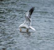Lesser Black Backed Gull Arkivfoto