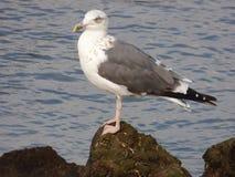 Lesser Black Backed Gull Photos libres de droits