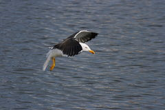Lesser Black-Backed Gull Royalty Free Stock Photography