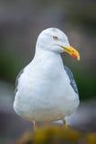 Lesser Black-Backed Gull Photographie stock