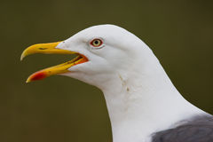Lesser Black-backed Gull Royalty Free Stock Image