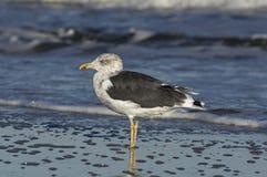 Lesser Black-Backed Gull image stock