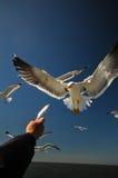 Lesser Black-Backed Gull imagem de stock royalty free