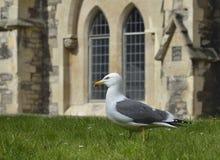 Lesser Black-Backed Gull Imágenes de archivo libres de regalías
