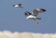 Lesser Black-backed Gull in Flight royalty free stock photography