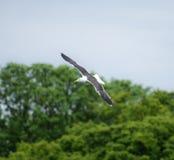 Lesser Black Backed Gull In flyg Arkivbilder