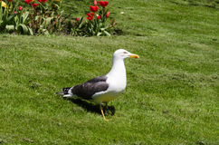 Lesser Black-backed Gull on grass with tulips Royalty Free Stock Photos
