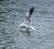 Lesser Black Backed Gull Stock Photo