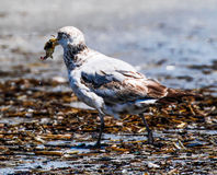 Lesser Black-backed Gull. Immature First year Lesser Black-backed Gull with crab Stock Images