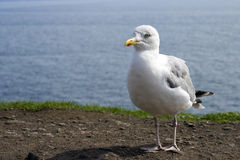 Lesser Black-backed Gull (Larus fuscus) Stock Images