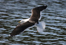 Lesser Black-backed Gull - Larus fuscus Royalty Free Stock Images