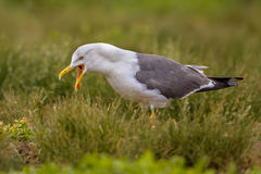 Lesser black-backed gull Stock Photography