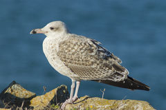 Lesser black-backed gull & x28; Larus fuscus & x29; Royalty Free Stock Photography