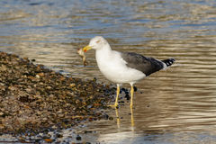 Lesser Black-backed Gull (Larus fuscus) Royalty Free Stock Image