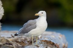 Lesser black-backed gull Larus fuscus Royalty Free Stock Photos