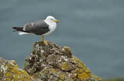 Lesser Black-backed Gull Royalty Free Stock Photos