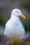 Lesser Black-Backed Gull. (Larus fuscus) profile portrait, standing in the Farne Islands, Northumberland, UK. May stock photography