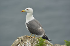 Lesser Black-backed Gull Royalty Free Stock Images