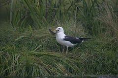 Lesser black-backed gull, Larus fuscus Stock Image