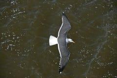 Lesser black-backed gull, Larus fuscus Royalty Free Stock Photo