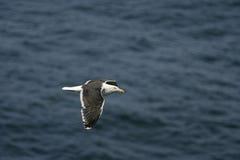 Lesser black-backed gull, Larus fuscus Stock Images