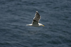 Lesser black-backed gull, Larus fuscus Royalty Free Stock Photography
