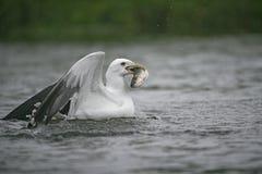 Lesser black-backed gull, Larus fuscus Stock Photos