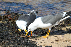 Lesser Black Backed gull regurgitating food Stock Images