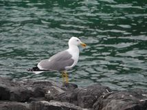 A lesser black-backed gull on a rock Royalty Free Stock Photos