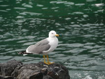 A lesser black-backed gull on a rock Royalty Free Stock Image