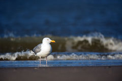 Lesser Black-backed Gull Royalty Free Stock Photo