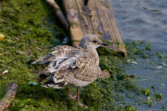 The lesser black-backed gull is staying near the water Royalty Free Stock Photos