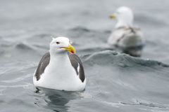 Lesser black-backed gull Royalty Free Stock Photo