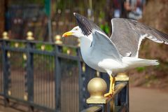 Free Lesser Black-backed Gull With Open Wings Stock Image - 133883581
