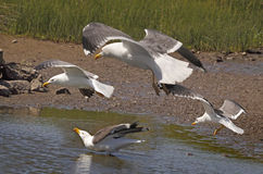 Lesser Black-backed Gulls Stock Photos