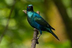 Lesser Blue-eared Glossy-starling Royalty Free Stock Photography