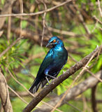Lesser Blue-eared Glossy Starling Stock Photos