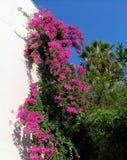 Lesser bougainvillea Bougainvillea glabra, bougainvillea kwitnie, krzak Zdjęcia Royalty Free